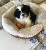 Shih Tzu Puppies for sale in Fischer, TX 78623, USA. price: NA
