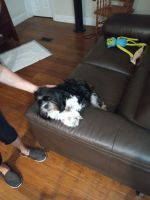 Shih Tzu Puppies for sale in Naples, FL, USA. price: NA