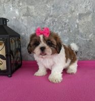 Shih Tzu Puppies for sale in Carmel-By-The-Sea, CA 93923, USA. price: NA