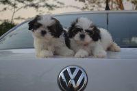Shih Tzu Puppies for sale in Goshen, IN, USA. price: NA