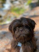 Shih Tzu Puppies for sale in Kent, WA, USA. price: NA