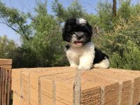 Shih Tzu Puppies for sale in Midland, TX, USA. price: NA