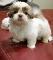 Shih Tzu Puppies for sale in Macon, GA, USA. price: NA