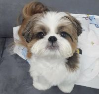 Shih Tzu Puppies for sale in Houston, TX, USA. price: NA