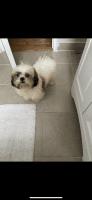 Shih Tzu Puppies for sale in Union, NJ, USA. price: NA