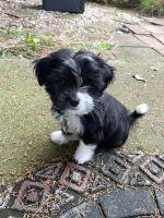 Shih Tzu Puppies for sale in Northville, MI 48167, USA. price: NA