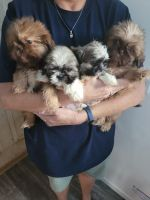 Shih Tzu Puppies for sale in Springtown, TX 76082, USA. price: NA
