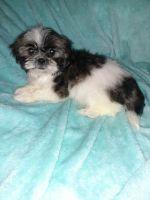 Shih Tzu Puppies for sale in Tecumseh, OK, USA. price: NA