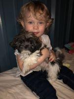 Shih Tzu Puppies for sale in Tulsa, OK, USA. price: NA