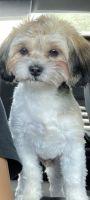 Shih Tzu Puppies for sale in Stockbridge, GA, USA. price: NA