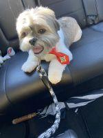 Shih Tzu Puppies for sale in San Antonio, TX, USA. price: NA