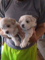 Shih Tzu Puppies for sale in Newark, NY 14513, USA. price: NA
