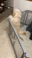 Shih Tzu Puppies for sale in 2026 Bradley St, Maplewood, MN 55117, USA. price: NA