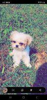 Shih Tzu Puppies for sale in Lyerly, GA 30730, USA. price: NA