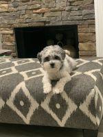 Shih Tzu Puppies for sale in Villa Rica, GA 30180, USA. price: NA