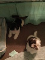 Shih Tzu Puppies for sale in 260 Windy Hill Way, Athens, GA 30606, USA. price: NA