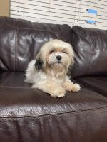 Shih Tzu Puppies for sale in Keller, TX, USA. price: NA
