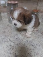 Shih Tzu Puppies for sale in Macon, MO 63552, USA. price: NA