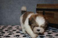 Shih Tzu Puppies for sale in Las Vegas, NV, USA. price: NA
