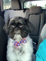 Shih Tzu Puppies for sale in Clinton Twp, MI 48035, USA. price: NA
