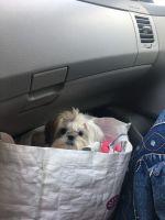 Shih Tzu Puppies for sale in Logan, UT, USA. price: NA