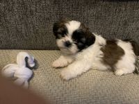 Shih Tzu Puppies for sale in Roswell, NM, USA. price: NA