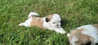 Shih Tzu Puppies for sale in Piscataway, NJ 08854, USA. price: NA