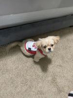 Shih Tzu Puppies for sale in Gainesville, FL, USA. price: NA