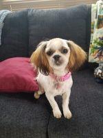 Shih Tzu Puppies for sale in Sedro-Woolley, WA 98284, USA. price: NA