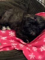 Shih Tzu Puppies for sale in El Paso, TX 79924, USA. price: NA