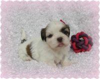 Shih Tzu Puppies for sale in Cincinnati, OH 45211, USA. price: NA