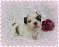 Shih Tzu Puppies for sale in Los Angeles, CA 90016, USA. price: NA