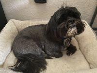 Shih Tzu Puppies for sale in Peoria, AZ 85382, USA. price: NA