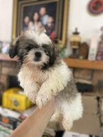 Shih Tzu Puppies for sale in 15800 Arbury St, Hesperia, CA 92345, USA. price: NA