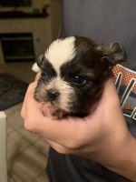 Shih Tzu Puppies for sale in Las Vegas, NV 89123, USA. price: NA
