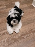 Shih Tzu Puppies for sale in Houston, TX 77070, USA. price: NA