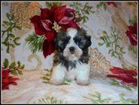 Shih Tzu Puppies for sale in Wildwood, FL, USA. price: NA