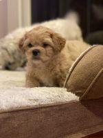 Shih Tzu Puppies for sale in Mt Washington, KY 40047, USA. price: NA