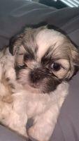 Shih Tzu Puppies for sale in Dallas, TX 75208, USA. price: NA
