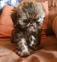 Shih Tzu Puppies for sale in Redlands, CA, USA. price: NA