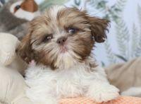 Shih Tzu Puppies for sale in Liberty Lake, WA 99016, USA. price: NA