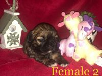 Shih Tzu Puppies for sale in Woodford, VA 22580, USA. price: NA