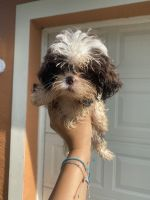 Shih Tzu Puppies for sale in Fort Myers Beach, FL 33931, USA. price: NA