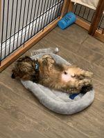Shih Tzu Puppies for sale in Aubrey, TX 76227, USA. price: NA