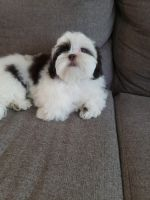 Shih Tzu Puppies for sale in Fort Collins, CO, USA. price: NA