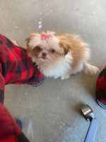 Shih Tzu Puppies for sale in 49467 Golden Gate Dr, Macomb, MI 48044, USA. price: NA