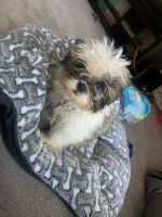 Shih Tzu Puppies for sale in Gaithersburg, MD, USA. price: NA