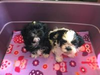 Shih Tzu Puppies for sale in Ramsey, MN 55303, USA. price: NA