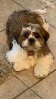 Shih Tzu Puppies for sale in 10999 Savannah Landing Cir, Orlando, FL 32832, USA. price: NA