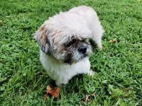 Shih Tzu Puppies for sale in Hillside, NJ 07205, USA. price: NA